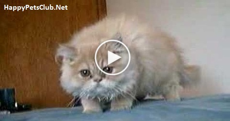 Kitten Began Hissing at His Human For No Reason And Then Jump Funnily