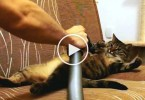 Cat Likes Being Vacuum Cleaned. Unbelievable Video !
