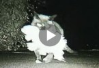 Cat Was Leaving Her Home Every Night. They Weren`t Sure Where She Was Going Until They Set Up Camera...