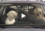 This Would Probably Happen If Dogs Could Drive Cars. I`m Laughing Now !