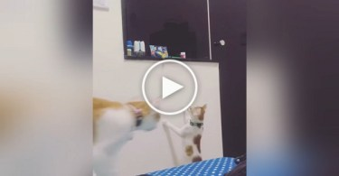 Little Kitten Can`t Reach His Favorite Toy. He Asks Mommy For Help.