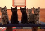 This Is The Cutest Foster Kittens Chorus Line. You Won`t Stop Laughing!