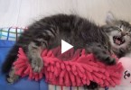 Cute Sleepy Kitten Talking To And Hugging His Bunny Toy. This Will Warm Your Heart !
