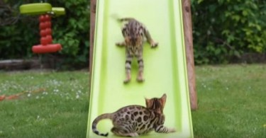 Bengal Kittens Go Crazy Every Time They See The Slide. They Couldn`t Be More Happier!