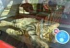 Wonderful Stray Kitty Breaks Into Vehicle To Feel Love And To Find a New Forever Home