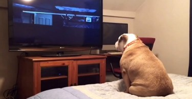Dog Watching A Horror Movie, Reacts In The Most Amazing Way During Scary Scene