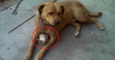 Dog Adopts And Protects Stray Abandoned Kitten
