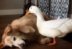 Dog And Duck Are Best Friends. They Have Very Strong Bond!