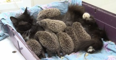Amazing Cat Mommy Adopts And Cares For Eight Orphaned Hedgehogs
