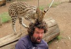 Big Wild Kitty Loves Playing With Human`s Hair