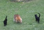 Blind Raccoon Comes Every Day In This Yard And Brings His Own Cute Bodyguards