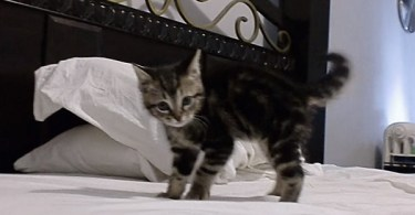 Cute Kitten Shows The Crazy Crab Dance