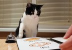 Kitty Waits For His Dinner In Special Restaurant For Cats