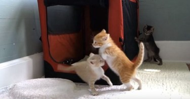 The Orange Kitten Is The Craziest Of All. His Moves Are Hilarious!