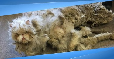 Rescuers Found A Cat Dragging a Carpet, Then They Removed 5 Pound Of Matted Fur