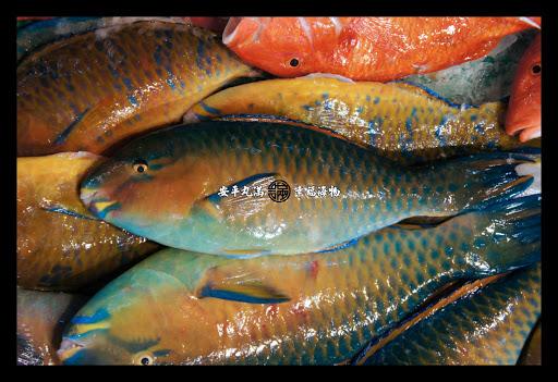 鸚哥魚科   安平丸滿 幸福海物