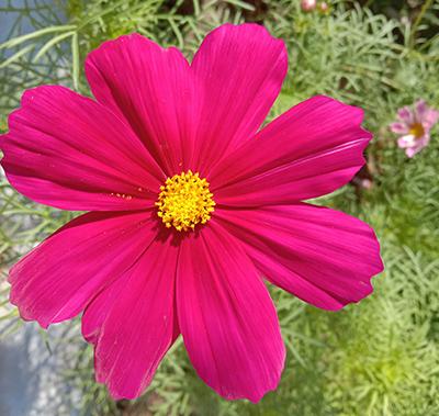 Cosmos sensation bright color flower