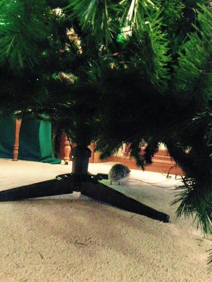 Gastby playing under the Christmas tree after we set it up