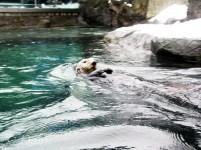 Vancouver Aquarium - Sea Otter