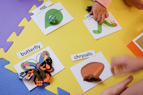DSCF0329The Very Hungry caterpillar Life Cycle