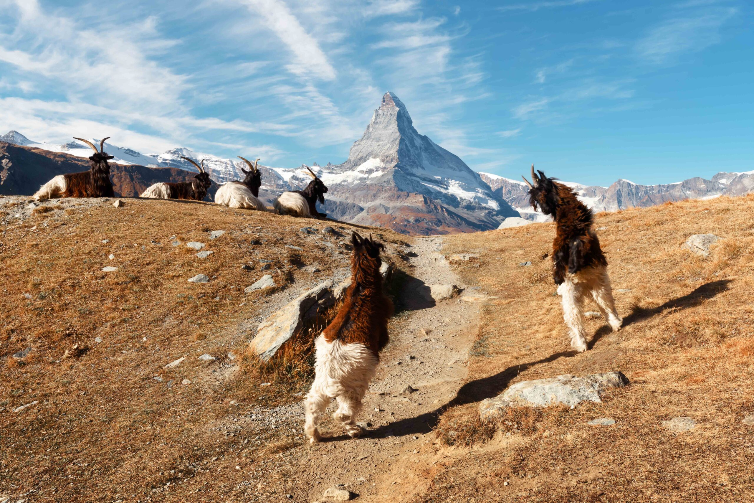 Fighting goats on Matterhorn Cervino peak background near Stellisee lake in Swiss Alps. Zermatt resort location, Switzerland. Landscape photography