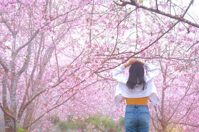 桃園櫻花大爆發。拉拉山【恩愛農場】│2020櫻花季/上巴陵粉紅富士櫻震撼視覺