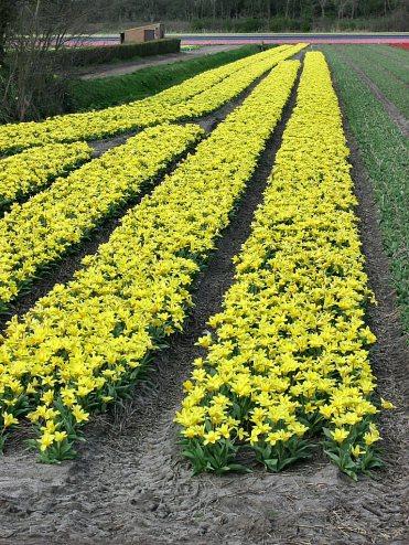 094 tulipes jaunes
