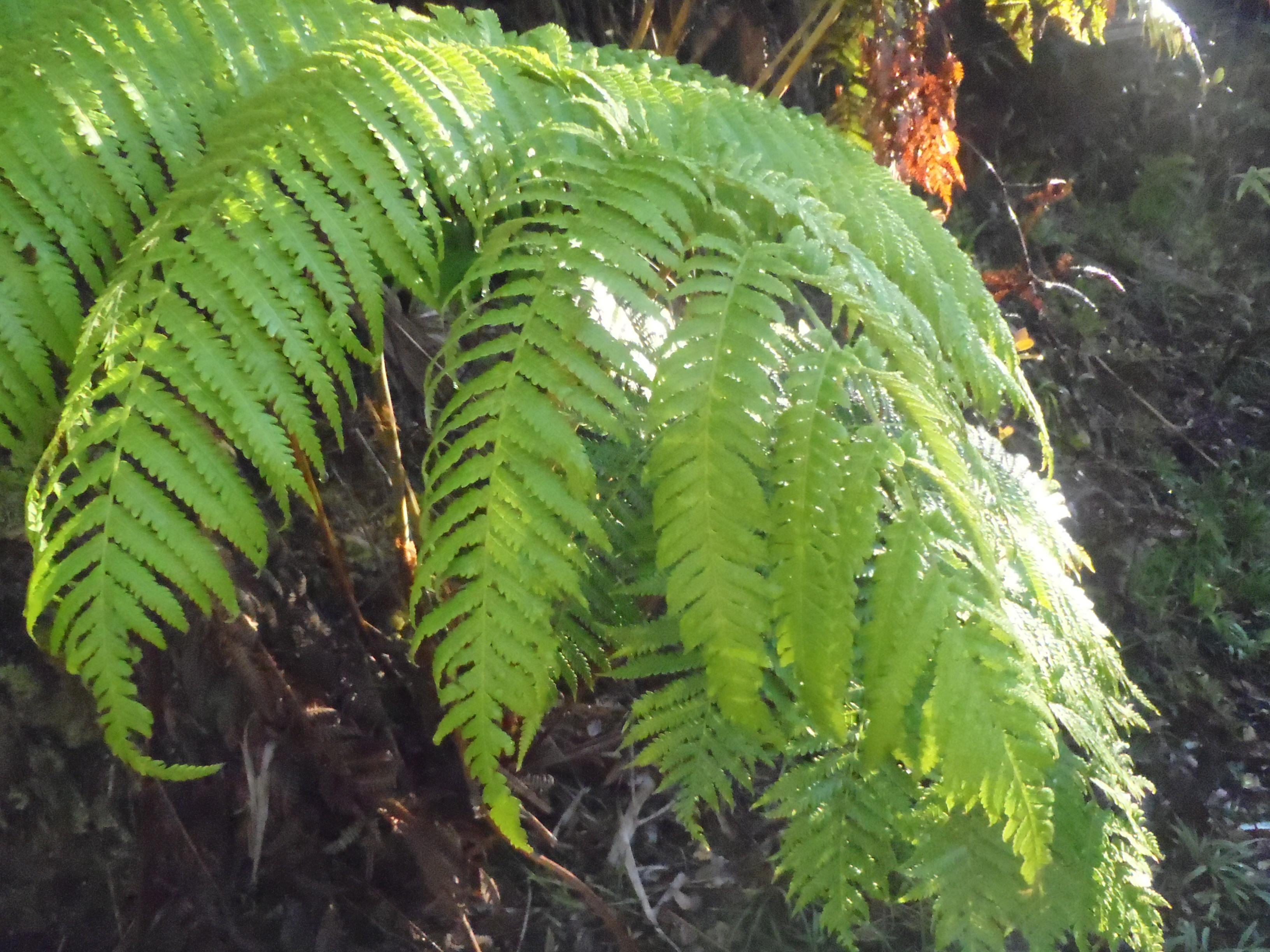 Hapuu Cibotium splendens  Hapuu Hills Inc