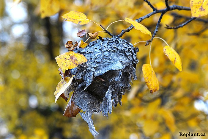 tree-planting-planters-old wasp nest
