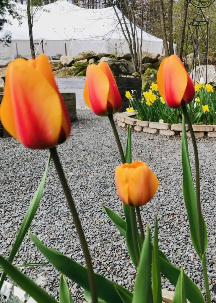 yellow and red tulips at maine wedding
