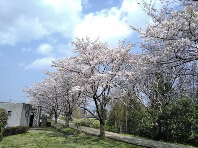 七瀬川自然公園の桜