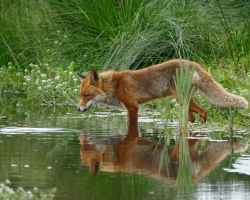 Foxes and Septic in Harford County!