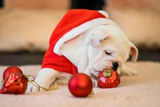 Will I Get An English Bulldog Santa?