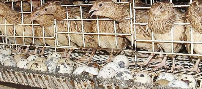 Burung Puyuh Petelur Daftar Harga Tarif