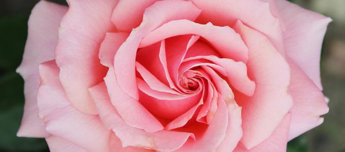 Info Harga Berbagai Jenis Bunga Mawar Dan Bibitnya Daftar Harga Tarif