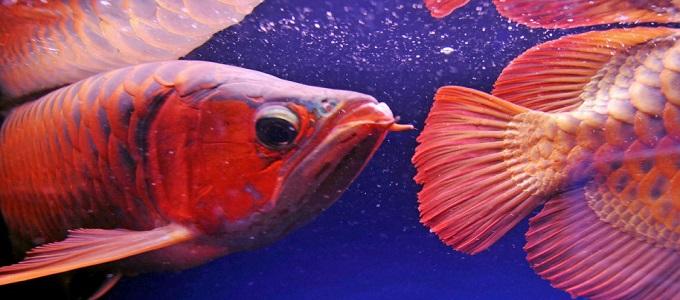 Harga Selangit Ini Alasan Kenapa Ikan Arwana Mahal Daftar Harga Tarif