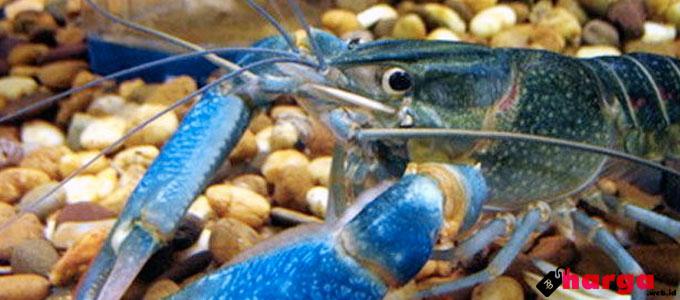 Update Harga Lobster Air Tawar Untuk Ternak Dan Konsumsi Daftar