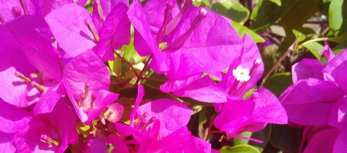Daftar Harga Bunga Bougenville Terbaru Berbagai Varian Dan Warna Daftar Harga Tarif