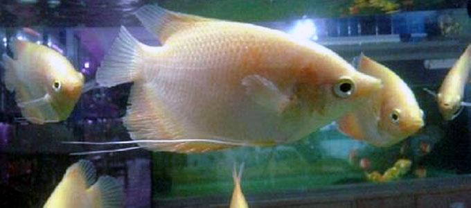 Update Info Terbaru Harga Bibit Ikan Gurame Super Di Pasaran Saat Ini Daftar Harga Tarif