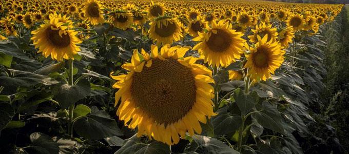 Harga Bibit Bunga Matahari Dan Cara Sederhana Menanamnya Daftar Harga Tarif