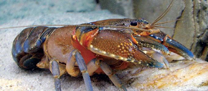 Update Harga Lobster Air Tawar Untuk Ternak Dan Konsumsi Daftar Harga Tarif