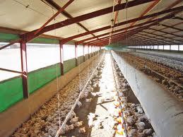 Sistem pembuatan kandang Ayam Broiler  Harga Ayam Broiler