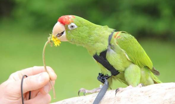 Flight Harness Training Your Parrot