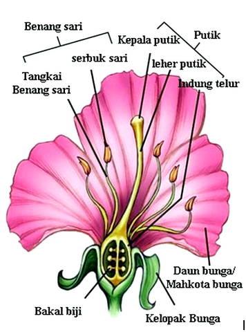 Struktur Bagian Bunga : struktur, bagian, bunga, Gambar, Bagian, Bunga, Harian, Nusantara