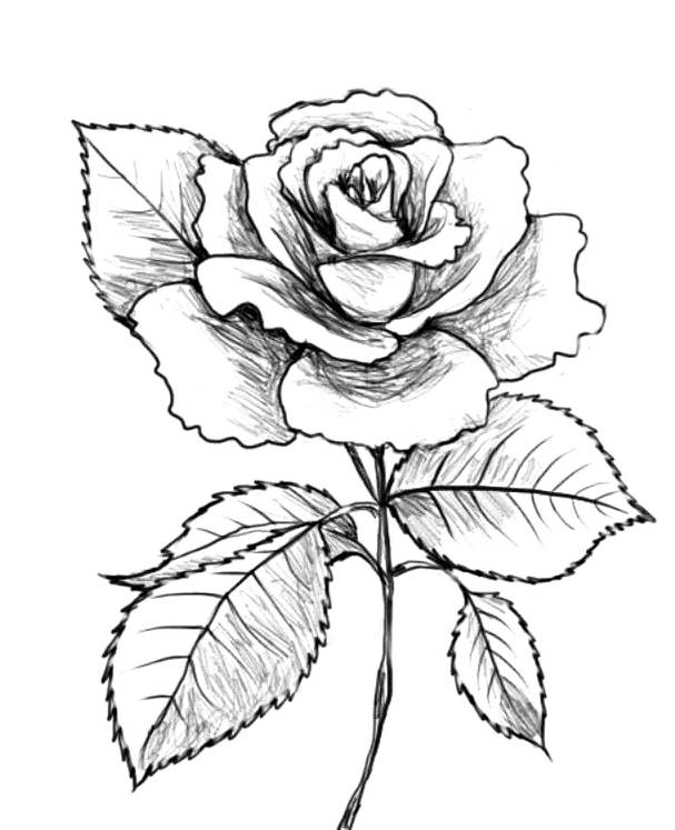Menggambar Bunga Mawar : menggambar, bunga, mawar, Sketsa, Gambar, Bunga, Mawar, Harian, Nusantara