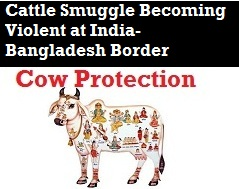 Cattle Smuggling Violence on Rise at India-Bangladesh Border