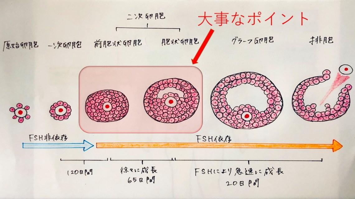 卵胞刺激ホルモン(FSH)による卵胞の発育
