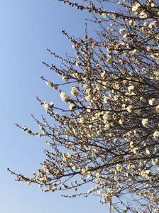 初春の白梅の写真