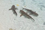Hiu di Pulau Wayag