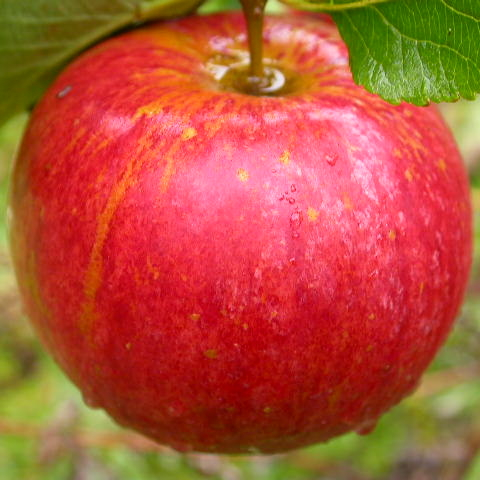 Mid Season Dessert Apples
